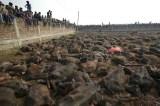 gadhimai-slaughtered-buffalo
