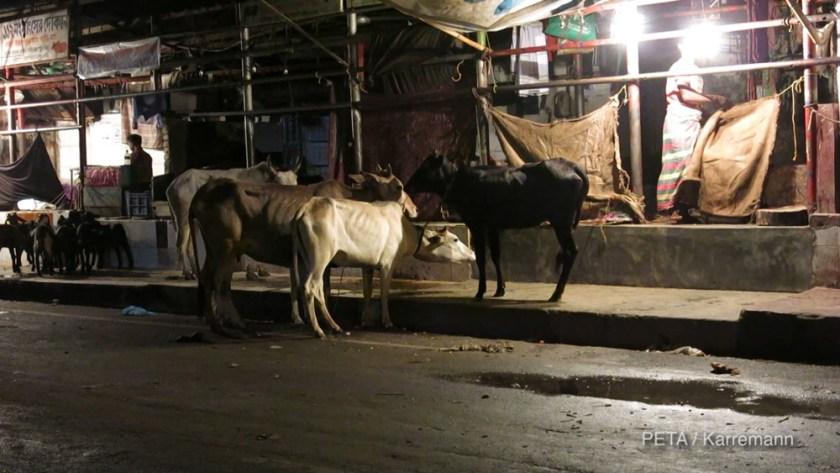 ED-Cows-in-street