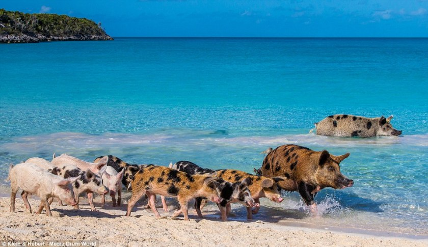 25751E9A00000578-2944893-Prized_pigs_Just_how_the_family_came_to_live_on_the_tiny_island_-a-13_1423432789153