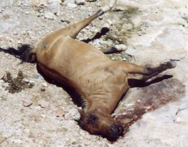 Havasupai Horse Left to Rot