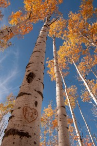 Fall In Wyoming, Saratoga, HI Carved into Aspen Tree