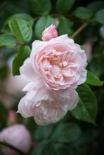 Rosa 'Generous Gardener'
