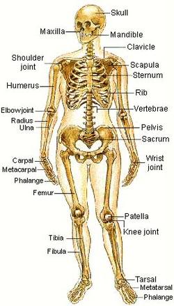 Diagram  Skeletal System Tytiana bonseigneur