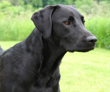 field-black-lab