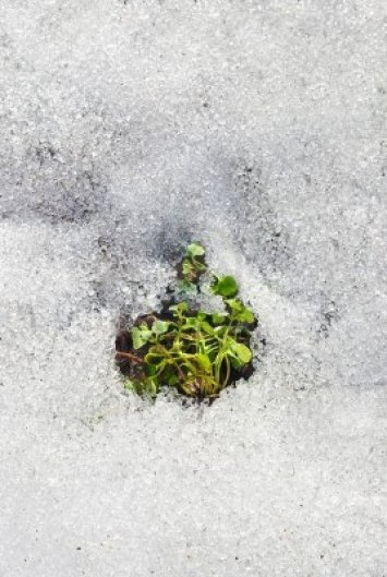 6551516-melting-wet-snow-with-green-plants-growing-and-selective-focus