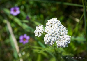 Yarrow and blue-eyed grass