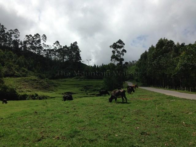 Cow Trail 03