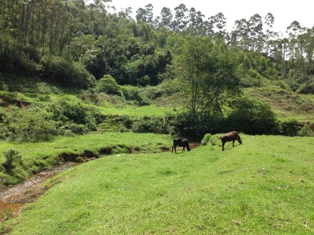 Cow Trail 05