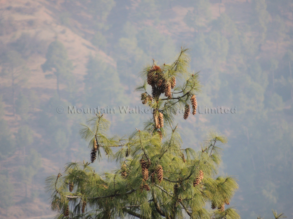 A cluster of female cones of the long-needled pine right at the topmost end of the tree; Photo: Ameen Shaikh
