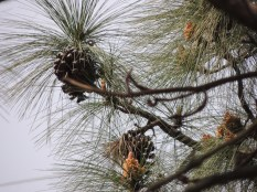 The female and male cones of the long-needled pine; Photo: Ameen Shaikh