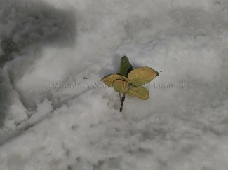 Weight of the snow causing this twig of a Rhododendron tree to break and fall off on the snow at Hatu Peak, Himachal Pradesh, India; Photo: Ameen Shaikh