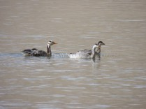 Bar Headed Geese enjoying Tso Moriri waters; Photo: Abhishek Kaushal