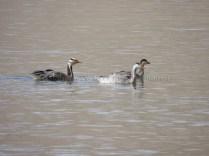 Bar Headed Geese enjoying Tso Moriri waters; Photo: Abhishek Kaushal