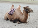 Tired Bactrian camel chilling out after a day's hardwork ferrying tourists in Nubra valley; Photo: Abhishek Kaushal