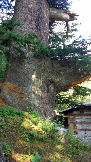 The Ancient Big Tree in Kafnu (one can see the sheer magnitude in contrast to the house at its feet); Photo: Ameen Shaikh.