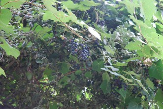 Grapes; Generally used by the locals to prepare liquor; Photo: Abhinav Kaushal