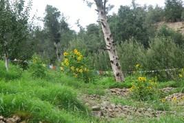 Sunflowers at Tangling; Photo: Abhinav Kaushal