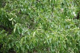 Walnuts on a tree; Photo: Abhinav Kaushal