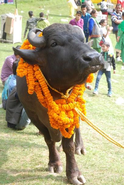 Veera the buffalo; Photo: Abhinav Kaushal