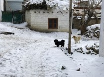 Dogs roaming around the alley-ways of Kaza; Photo: Abhinav Kaushal