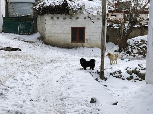 Dogs roaming around the alley-ways of Kaza; Photo: Abhinav Kaushal