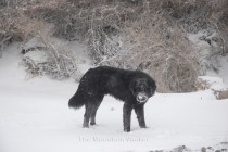 A dog walking in the snow.