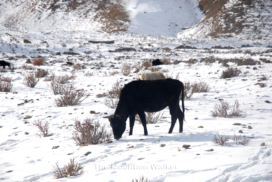 A cow licking snow for water; Photo: Abhinav Kaushal