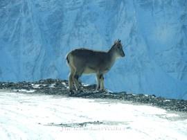 Himalayan Blue Sheep; Photo: Abhishek Kaushal