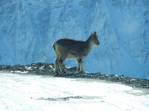 Himalayan Blue Sheep; Photo: Abhishek Kaushal