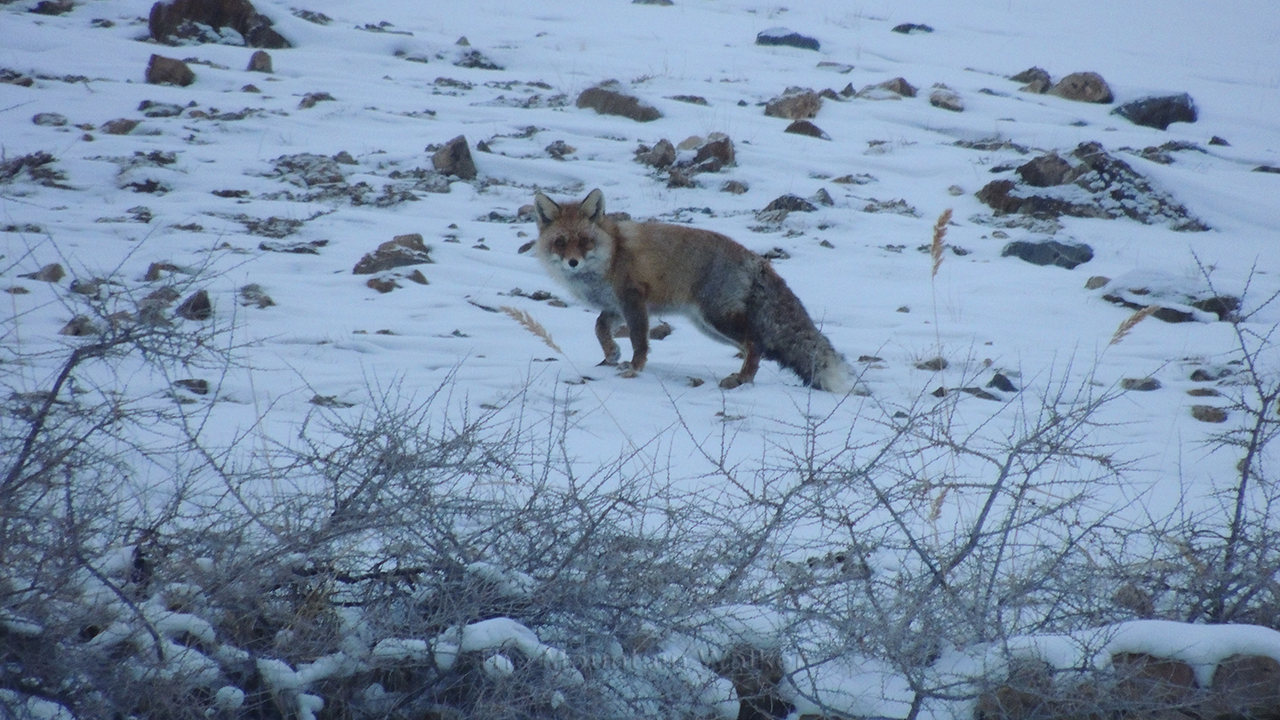 Red Fox spotted, Lahaul and Spiti, Himachal Pradesh, India.