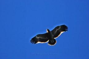 The magnificent Golden Eagle, captured in Shimla; Photo: Abhinav Kaushal