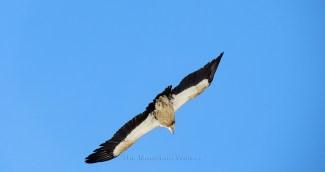 Himalayan Eagle in full flight in Spiti; Photo: Abhishek Kaushal
