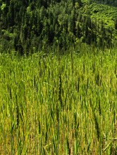 Wheat fields at Osla village; Photo: Swarjit Samajpati