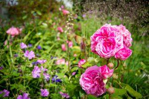 Lake District roses