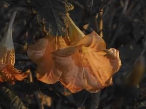 TheMouse brugmensia saumon