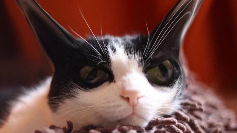 Vie de chat: quand Flip essaie de ressembler Mamour…