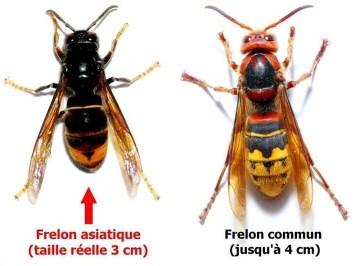 frelon, moustique tigre, destruction des nids de frelon, précautions à prendre avec un nid de frelons, piégés à frelon, frelon asiatique
