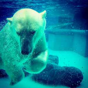 a white bear diving at a zoo in Chicago