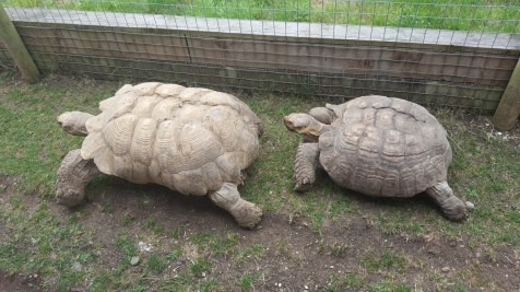 Tortoises (Between 50 and 80 years old!)