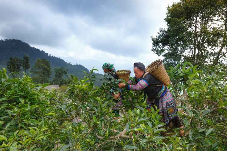 woman picking fruits under gray sky