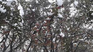 Fruit sector losses at Rs 500 crore due to snow: KCCI