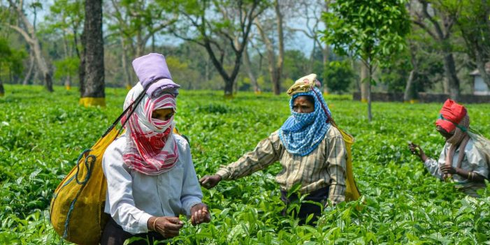 COVID-19 Has Pushed India's Already Suffering Tea Plantation Workers into Deeper Crisis