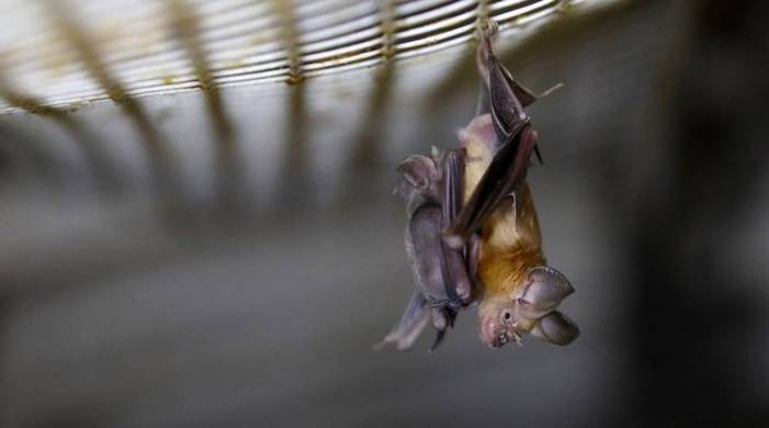 New coronavirus turns out to be decades old — in bats