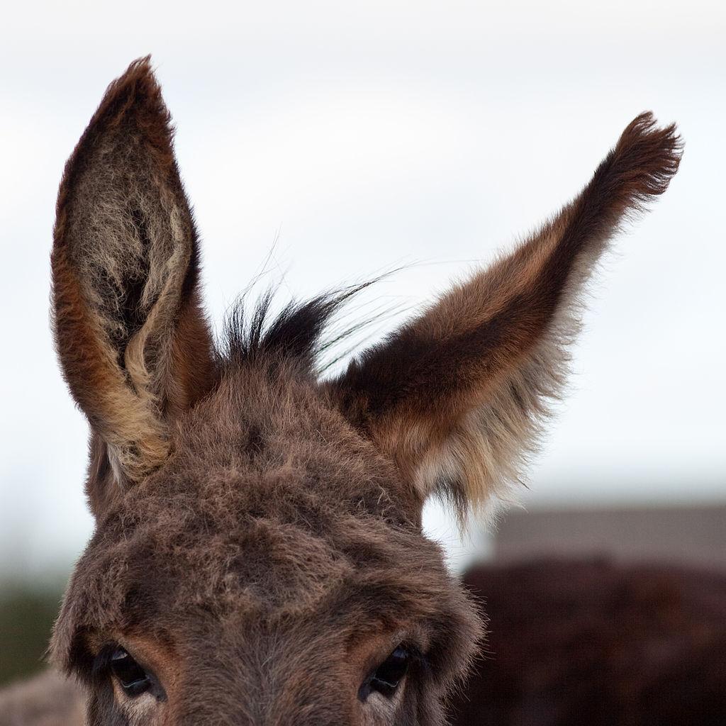 Donkey's Ear