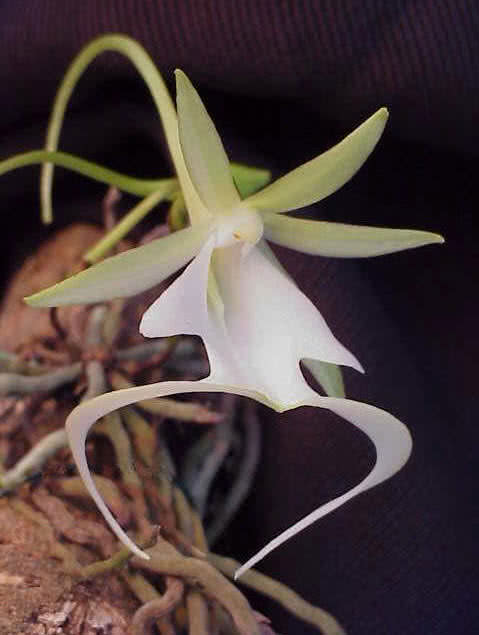Orquídea fantasma
