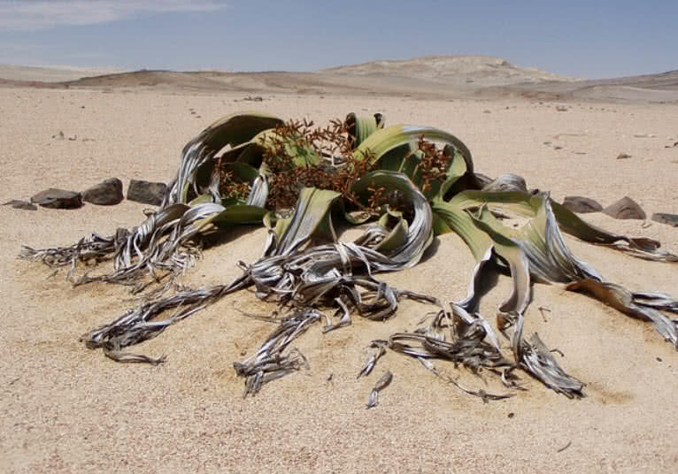 plantas misteriosas do deserto