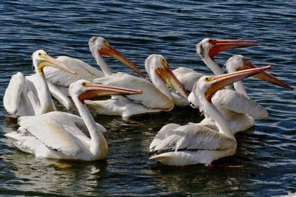 Pelicano branco americano