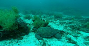 Sea Turtle-2
