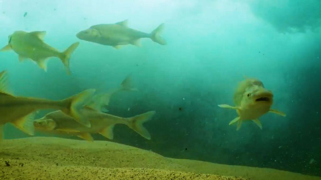 Humpback chubs swimming underwater, seen in this screenshot from a video, in the Colorado River in the Grand Canyon in Arizona in the United States. (USFWS/Freshwaters Illustrated/Zenger)