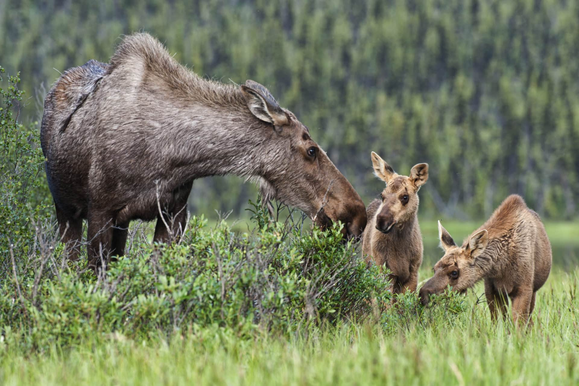 Common animals found in the boreal forests of. How Do We Save Canada S Boreal Forest The Narwhal